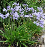 Agapanthus with blue flowers