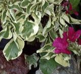 Bougainvillea Rasberry Ice