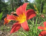 orange and red daylily flower