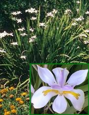 fortnight lily and closeup of flowers