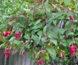 fuchsias with pink flowers growing over fence