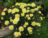 yellow marguerite blooms