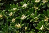 Pittosporum Plant