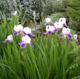 bearded iris plant with white and purple flowers