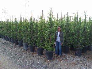 15 Gallon Ficus nitidas