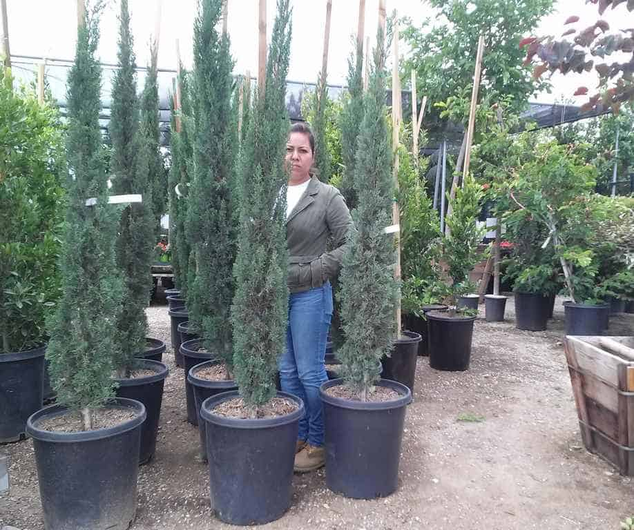 Fifteen Gallon Italian Cypress