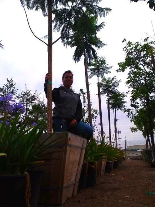 "Jacaranda tree in 24"" Box"