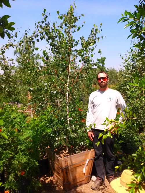 European birch trees for sale