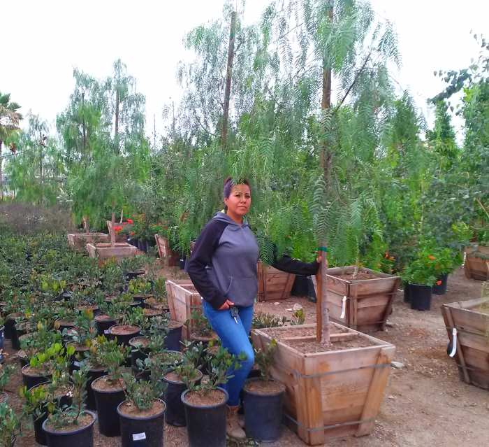 California Pepper tree in 24inch box