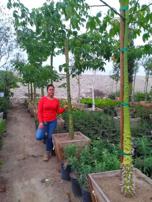 Chorisia speciosa silk floss tree for sale