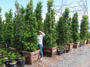 24 inch box Ficus nitidas