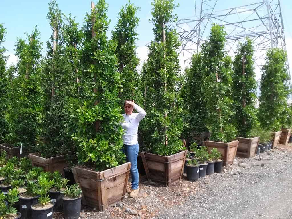 Indian Laurel Fig Garden View Landscape Nursery Amp Pools