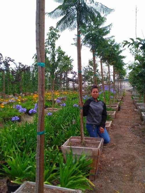 Jacaranda trees in twenty four inch box next to agapanthus