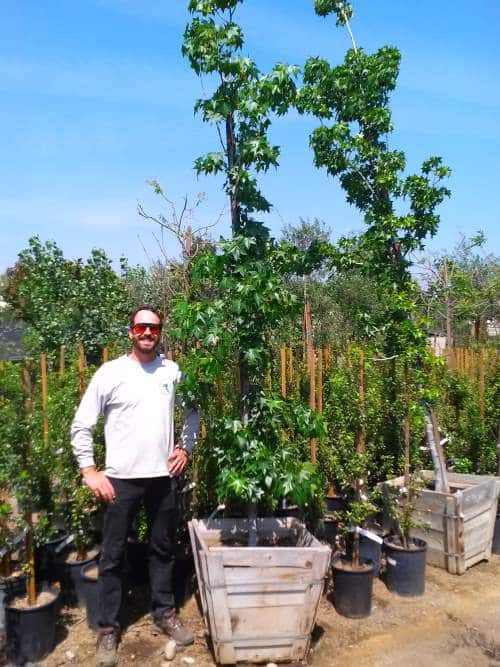 liquidambar american sweetgum tree for sale in 24 inch box
