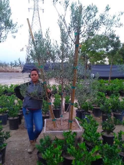olea europea olive trees