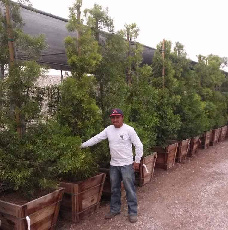 24 inch boxed Podocarpus graciliors