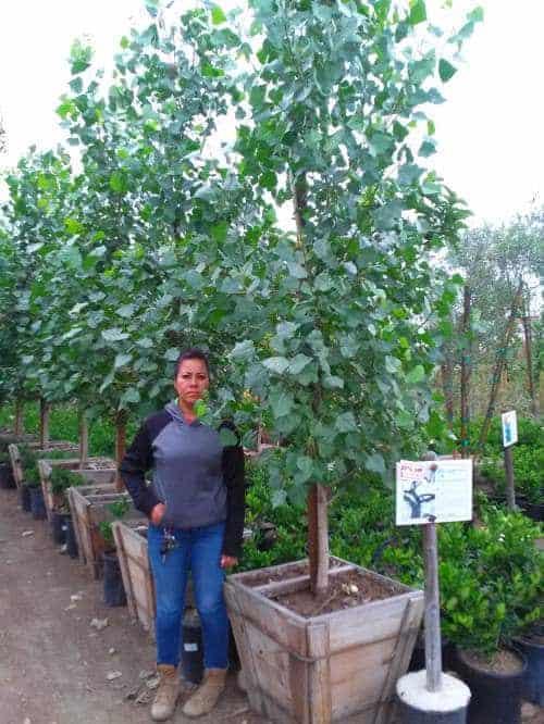 Populus fremontii poplar tree for sale