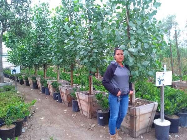 populus fremontii poplar in 24 inch box