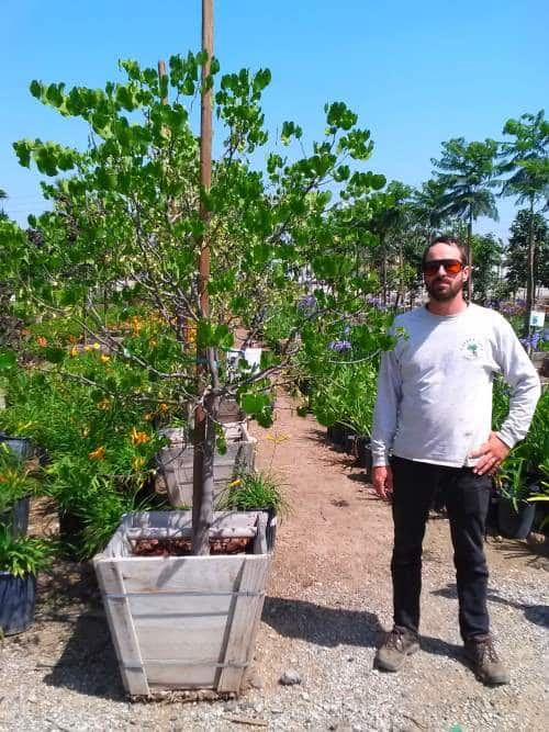 24 inch box texas white redbud tree for sale