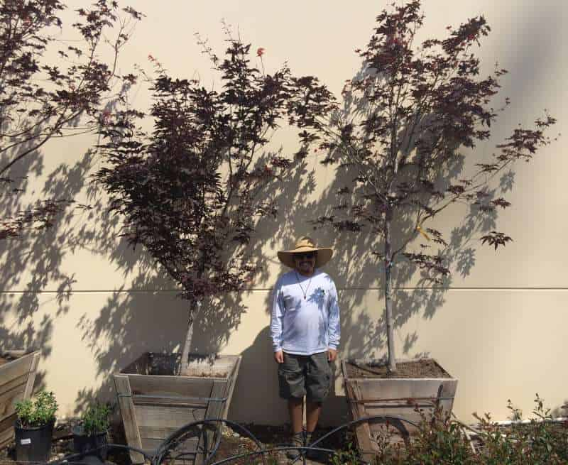 Red Japanese Maples against a wall in 30 inch boxes