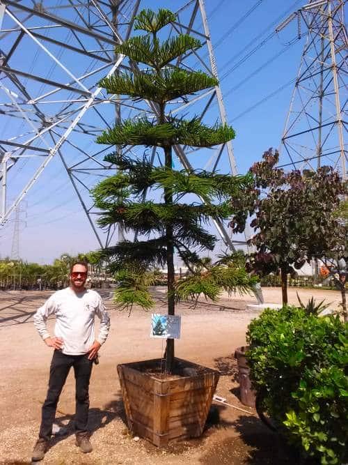araucaria heterophylla norfolk island pine tree
