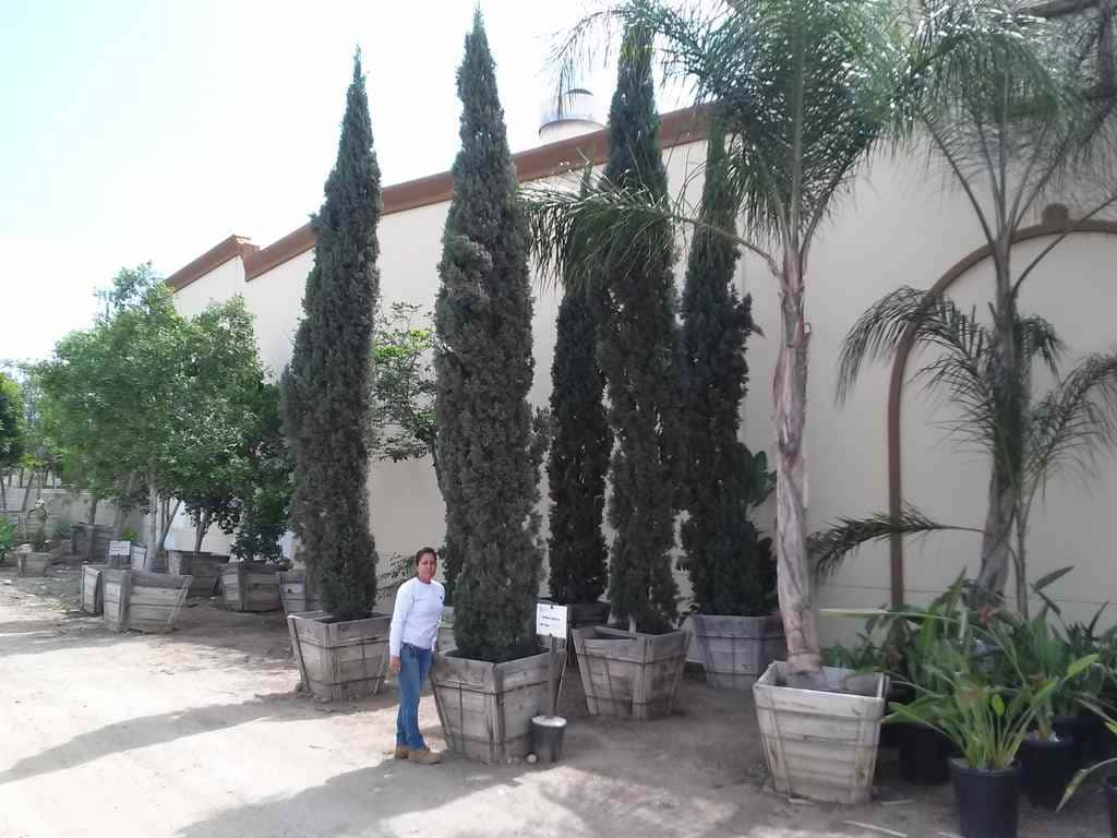 Thirty inch boxed italian cypress