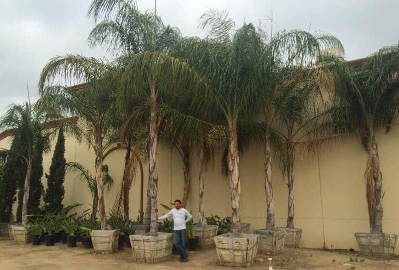 inc box queen palms