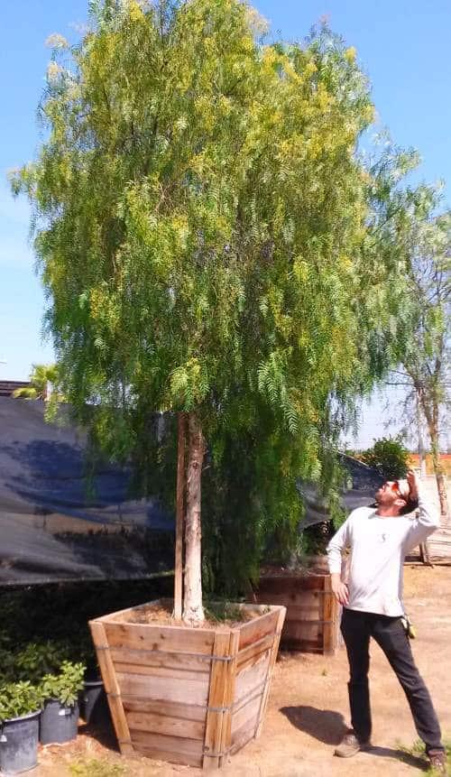 California pepper tree in 36 inch box