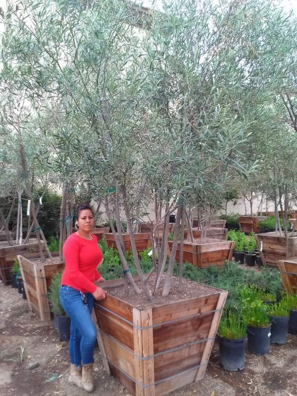 Multi trunked olive tree for sale in thirty six inch Box