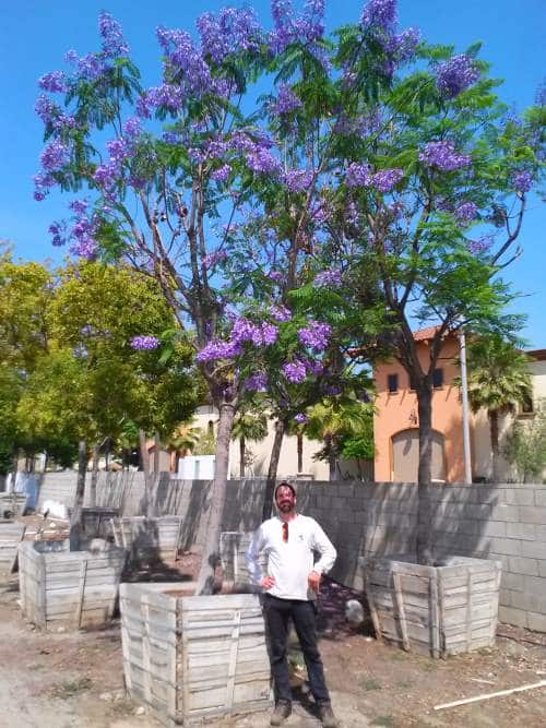 Jacaranda trees in forty-two inch Boxes
