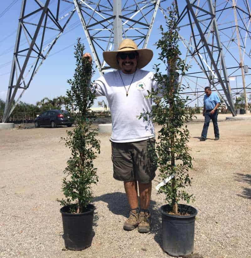 two Staked 5 gallon eugenia shrubs