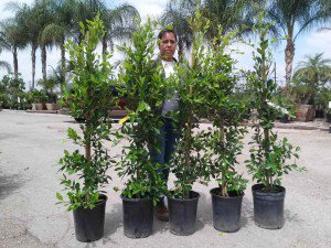 5 Gallon staked Ficus nitidas