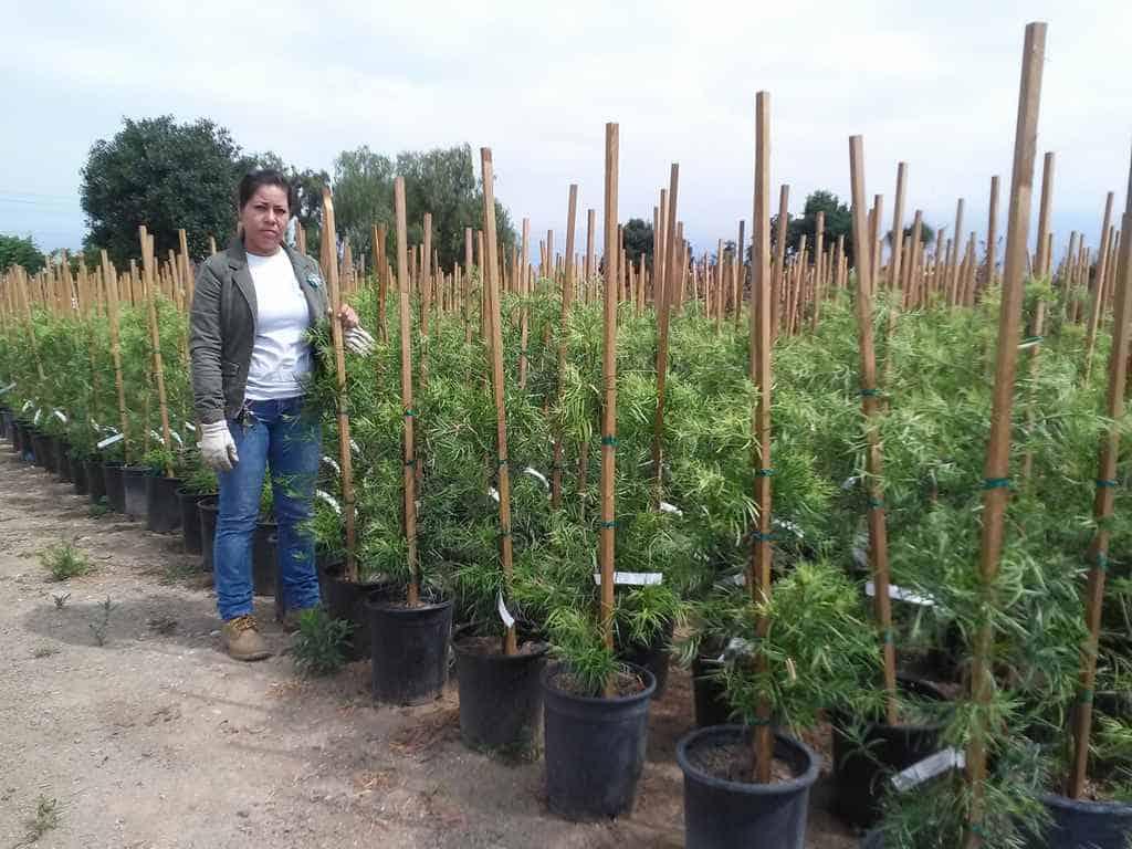 5 Gallon Podocarpus graciliors