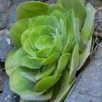 Green Aeonium succulent