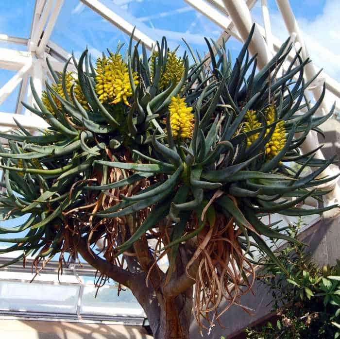 Aloe dichotoma - Quiver Aloe tree