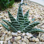 "Striped and white striped aloe variegata ""Tiger Aloe"""