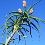 Tree Aloe with orange flowers - Aloe bainesii