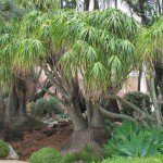 "Beaucarnea recurvata ""Ponytail Palm"" succulent tree"