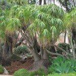 "Beaucarnea recurvata ""Ponytail Palm"" succulent tree"