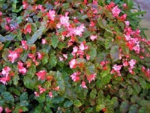 Begonia richmondensis with pink flowers