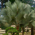 Bismarck Palm tree Bismarckia nobilis