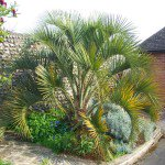 Butia capitata pindo or jelly palm