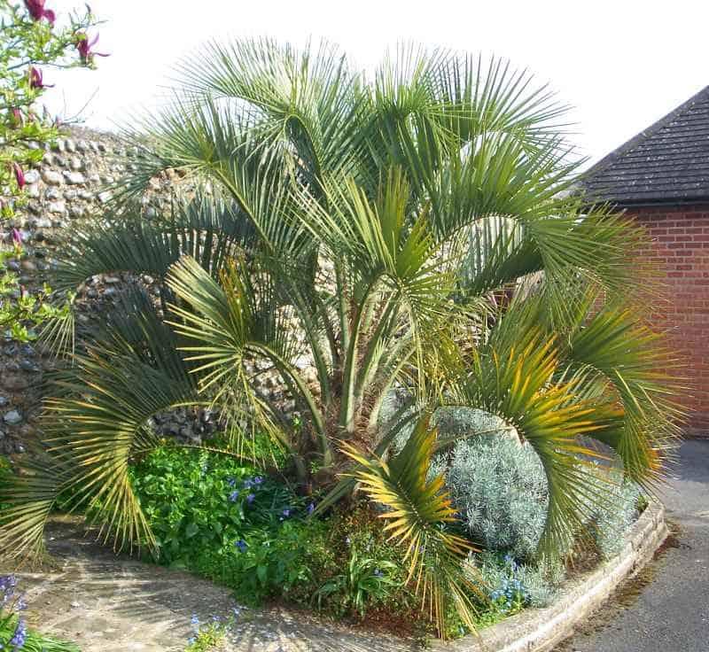 Butia capitata pindo or jelly palm
