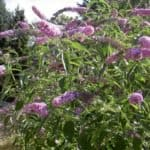 Buddleia Butterfly Bush with purple flowers