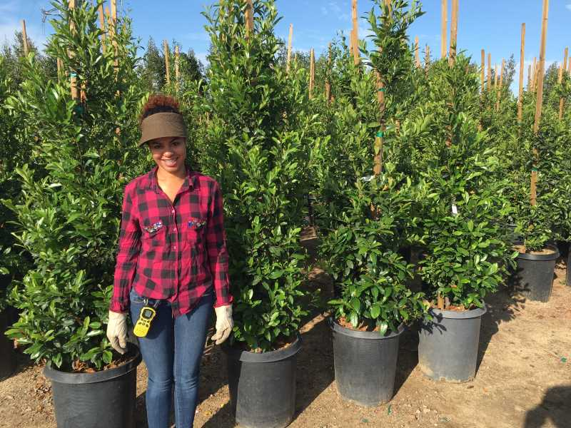 rows of staked carolina cherry hedges with a woman standing in front for size reference