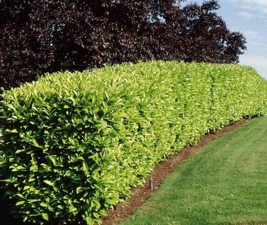Prunus caroliniana Carolina Cherry Hedge