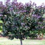 Merlot Redbud tree - Cercis canadensis