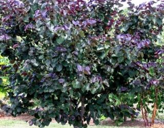 Merlot Redbud tree Cercis canadensis