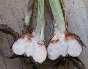 Corm Bulbs split in half