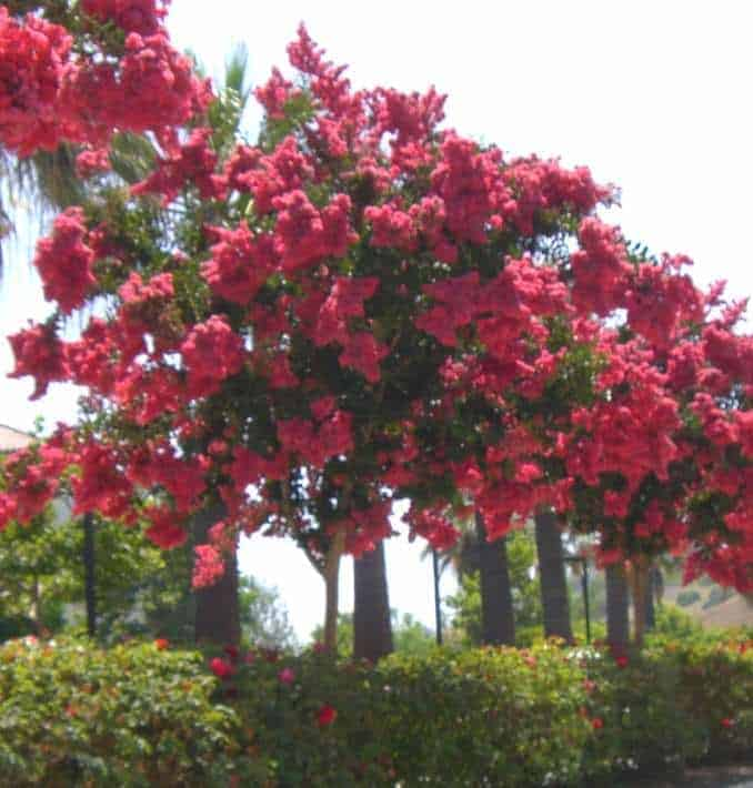Crape myrtle trees surrounded by rose shrubs